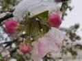 Sniegas-ant-zydinciu-obelu-1