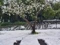 Sniegas-ant-zydinciu-obelu-9